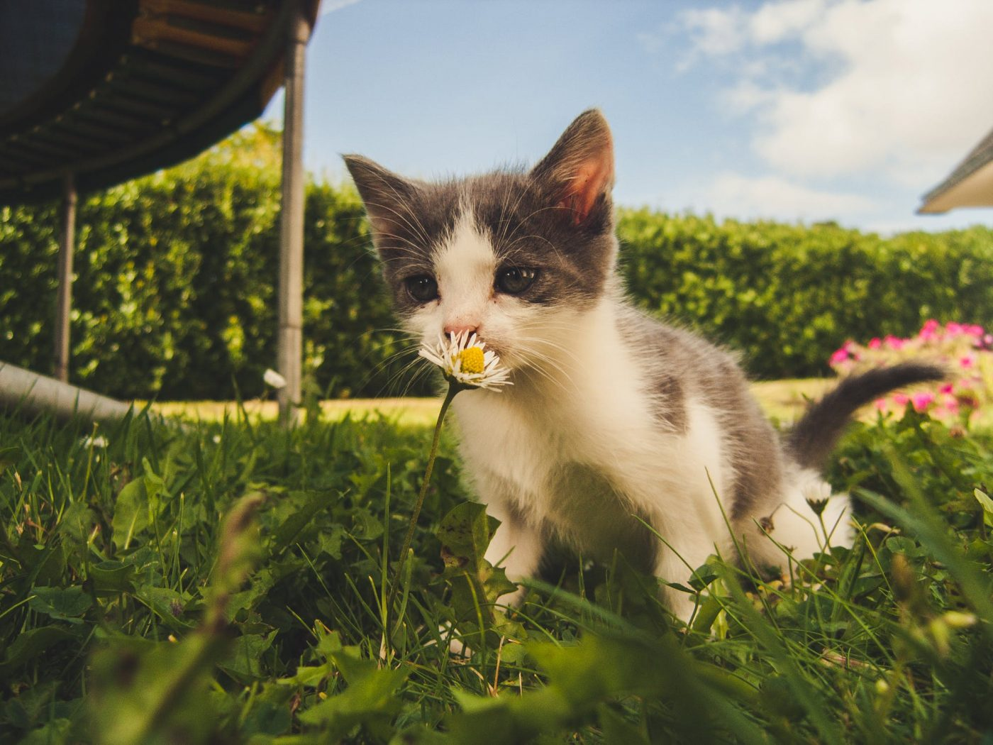 cat sniffing flower in grass
