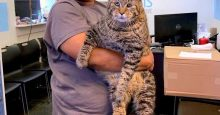 mister b the 26 pound cat