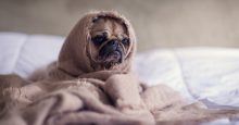 closeup of pug in blankets